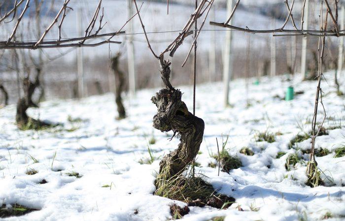 Piero Busso a Neive - Vigneti in inverno 1